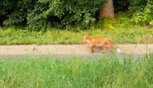 Red Fox, Environment