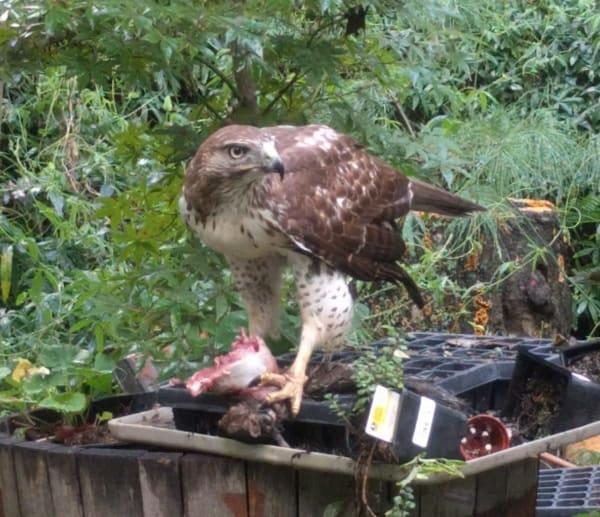 Redtail Hawk